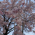Photos: 枝垂れシャワー