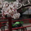 Photos: さくら#2