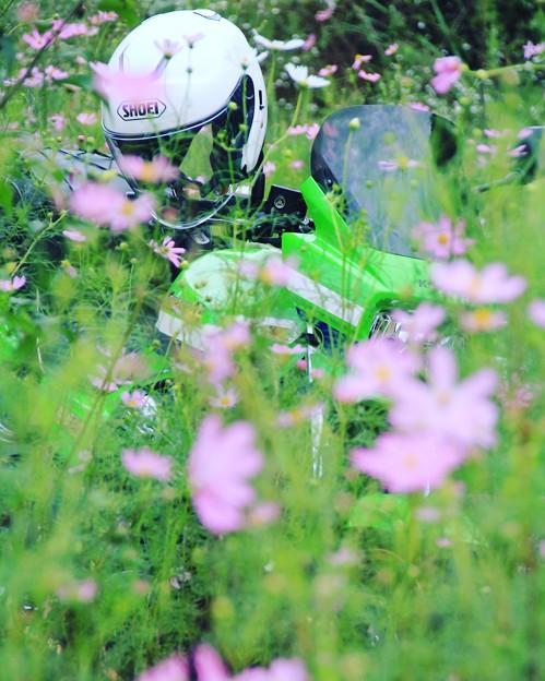 秋桜とDAEG