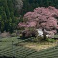 写真: 水目の桜