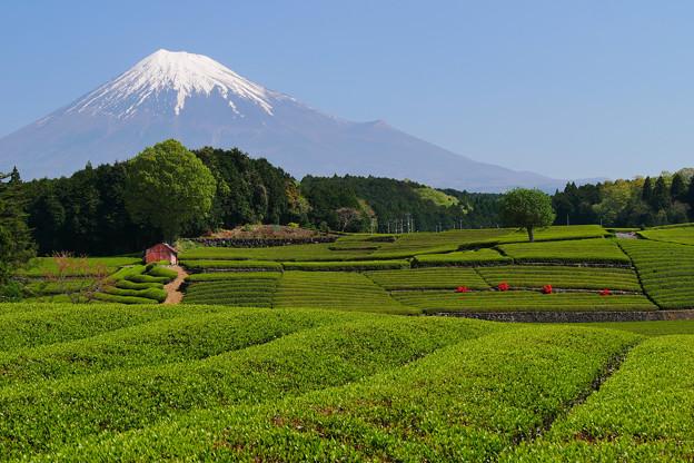 新茶と富士山
