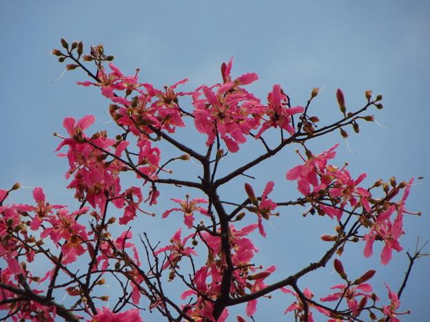 トックリキワタの花