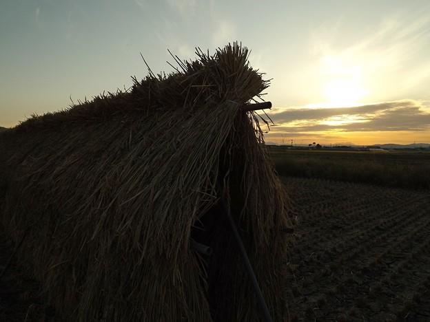 夕日に照らされる稲穂