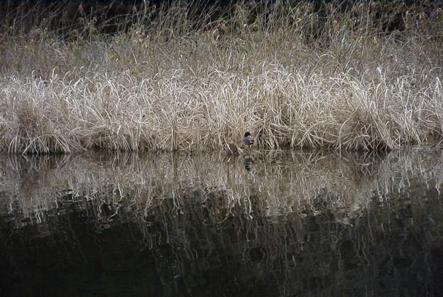 早水神社の池の小鴨