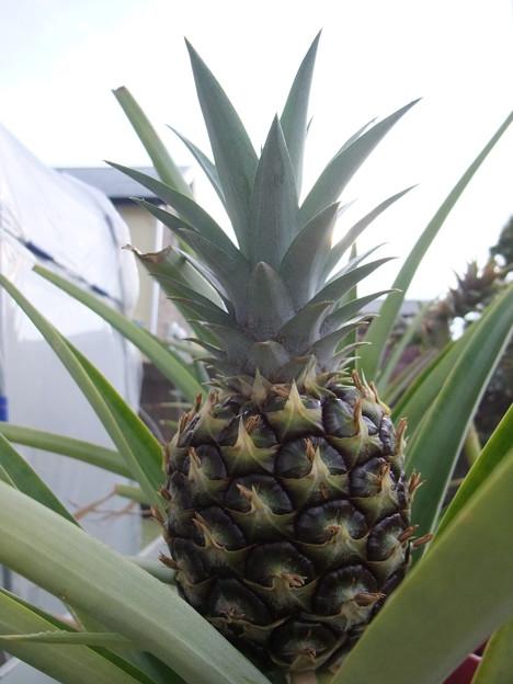 Photos: パイナップル
