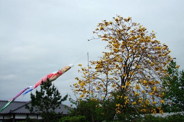 イペーの花と鯉のぼり