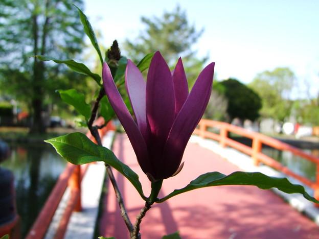 赤い欄干と紫木蓮の花