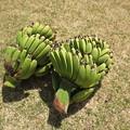 宮崎ミニバナナ収穫