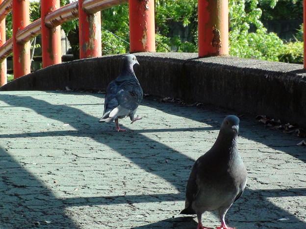 早水公園の鳩