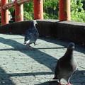 写真: 早水公園の鳩