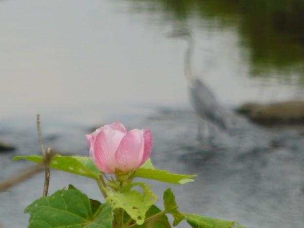 芙蓉の花とアオサギ