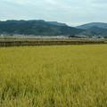 写真: 稲刈り