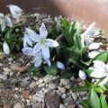 写真: シラー・チューベルゲニアナ開花