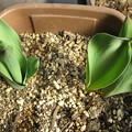 Photos: 分球した植えっぱなしのチューリップ