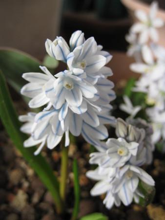 プシュキニア・リバノティカが咲きました