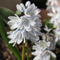 写真: プシュキニア・リバノティカが咲きました