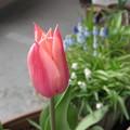 写真: 香るチューリップ サンネ