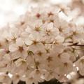 Photos: Cherry Blossom 1