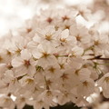 Photos: Cherry Blossom 1