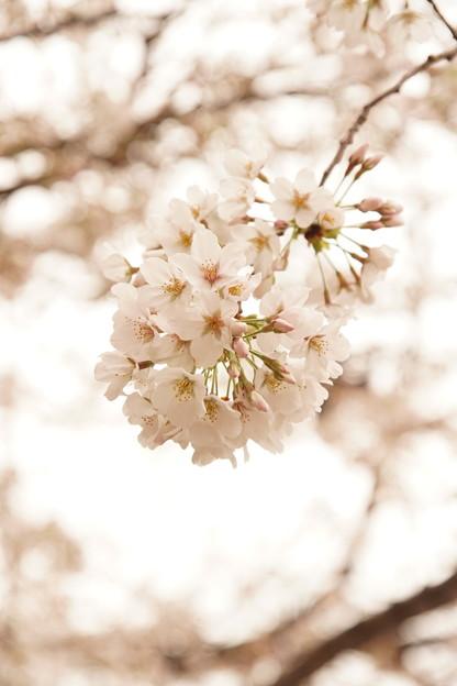 Photos: Cherry Blossom 2