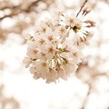Photos: Cherry Blossom 2