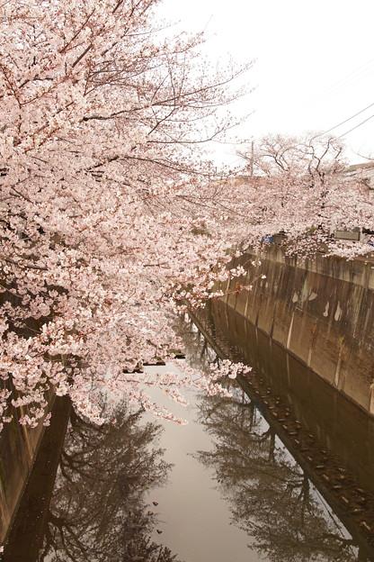Photos: Cherry Blossom 3