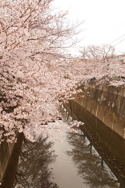 Photos: Cherry Blossom 3