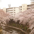 Photos: Cherry Blossom 4