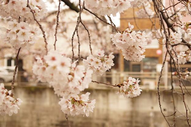 Photos: Cherry Blossom 5