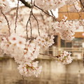 Photos: Cherry Blossom 5