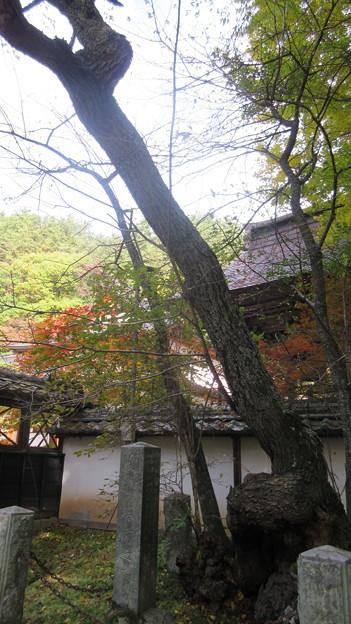 信綱寺(上田市)墓前の桜