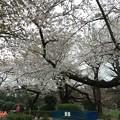 Photos: 16.04.02.千鳥ヶ淵公園(千代田区麹町1・一番町)