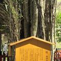 貴布禰総本宮 貴船神社(左京区)御神木