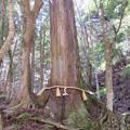 貴布禰総本宮 貴船神社(左京区)相生の大杉