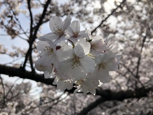 18.03.26.面影橋より(新宿区・豊島区)
