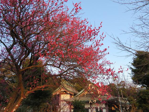 人見神社(君津市)紅梅