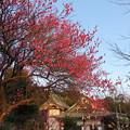 写真: 人見神社(君津市)紅梅