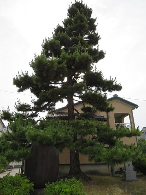 Photos: 魚津城(魚津市立小学校)ときわの松・上杉謙信歌碑