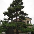 写真: 魚津城(魚津市立小学校)ときわの松・上杉謙信歌碑