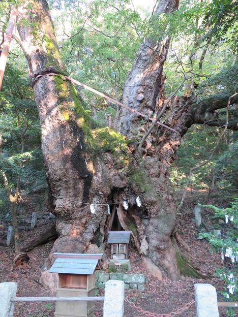 葛見神社(伊東市)大樟