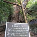 Photos: 葛見神社(伊東市)大樟