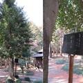 鎌形八幡神社(嵐山町)九洲天岩戸神社移柱 招霊の木