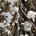 写真: 小野照崎神社(下谷)桃