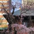 Photos: 19.04.05.善性寺(東日暮里)