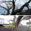 Photos: 19.04.08.雨宝院(上京区)御衣黄
