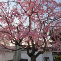 Photos: 19.04.08.妙顕寺/三好筑前屋敷考察地(上京区)