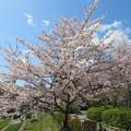 Photos: 19.04.09.長岡天満宮(長岡京市)