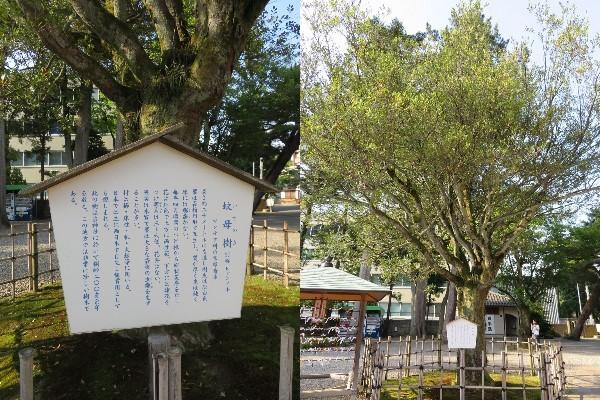 尾山神社(金沢市)蚊母樹