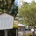 Photos: 尾山神社(金沢市)蚊母樹