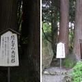 Photos: 劔神社(越前町)夫婦杉